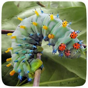 Cecropia Cat 5th Instar