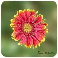 Red and Yellow Coneflower