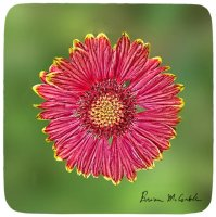 Red Tipped Coneflower